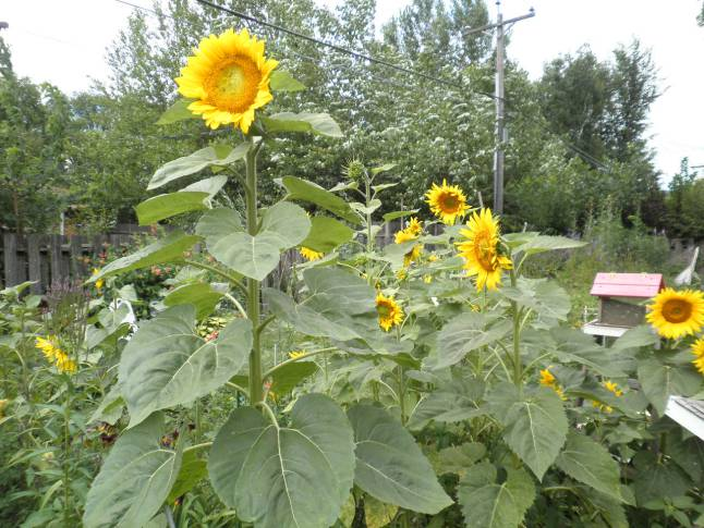 Sunflowers, Grow Your Own Birdseed