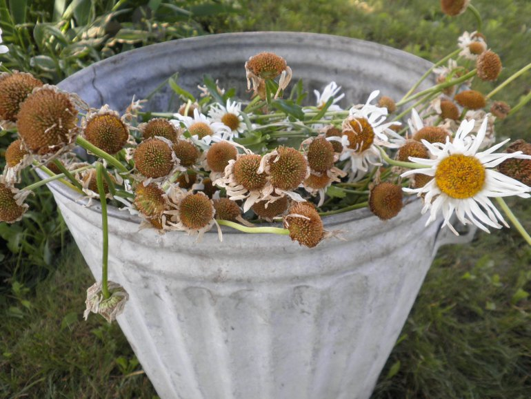 oxeye-daisies